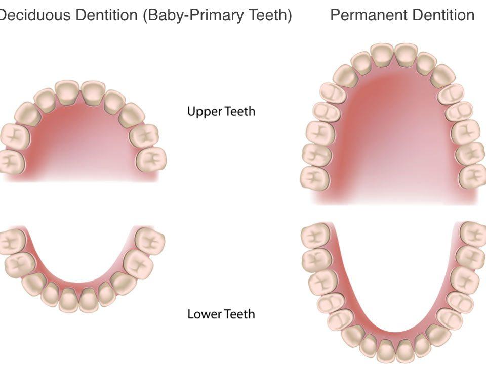 children 's adult teeth,دندانهای دائمی