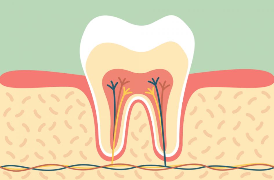 tooth-anatomy,ساختار دندان,پالپکتومی
